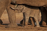Baby elephant framed by mother.