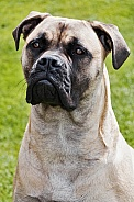 Bull Mastiff close up
