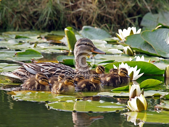 Mother duck with ducklings