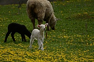 Sheep & Lambs