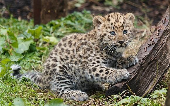 Amur Leopard Cub