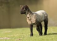Young Lamb Staring