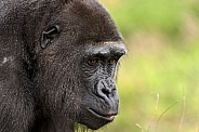 Female Western Lowland Gorilla Side Profile