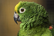 Yellow Fronted Amazon Parrot Side Profile