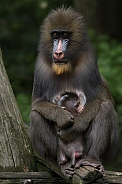 Mandrill Mother and Cub