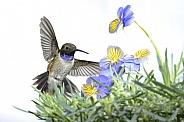 Black-chinned Hummingbird (wild male)