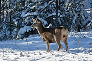 Mule Deer Doe in the snow