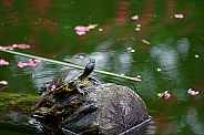 Painted Turtle and Cherry Blossom Reflections