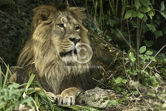Asiatic Lion Full Body Lying Down
