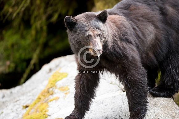 Black Bear (wild)