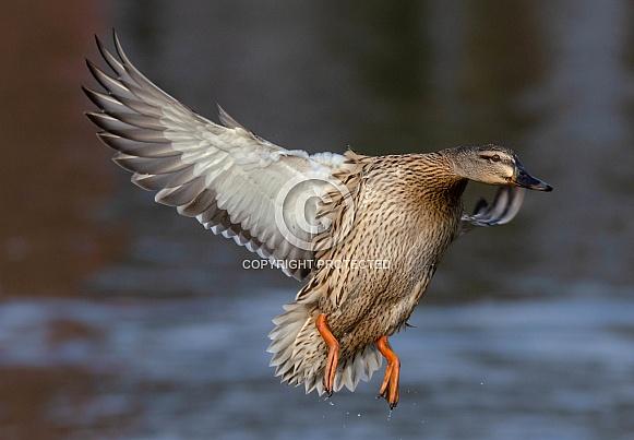 A female Mallard in flight