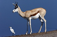 Springbok and a Great Egret - Namibia