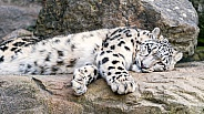 Young Snow Leopard on Rock