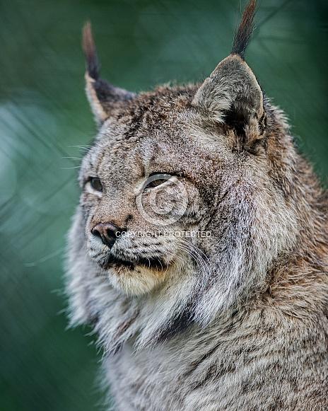 Siberian Lynx in winter coat
