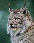 Siberian Lynx in winter coat