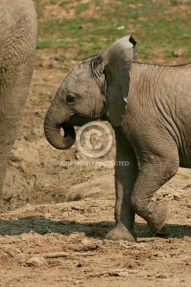Elephants of Addo Elephant Park, South Africa
