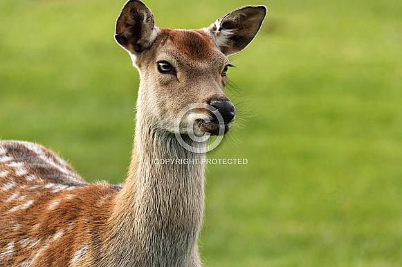 Fallow deer close up