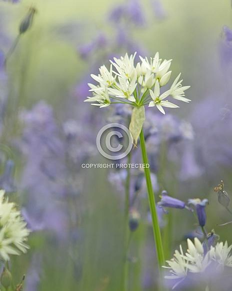 Wild Garlic (Ransoms) in Bluebells