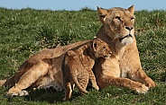 African Lioness and Cub