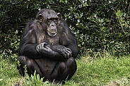 Chimpanzee Sitting In Grass Full Body