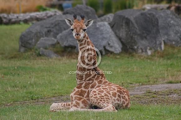 Baby Rothchild's Giraffe Sitting Down