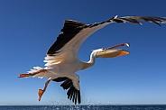 Pink-backed Pelican (Pelecanus onocrotalus)