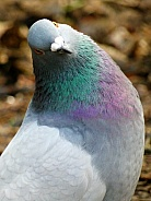 Comical feral pigeon