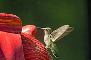 Hummingbird and the Red Fountain