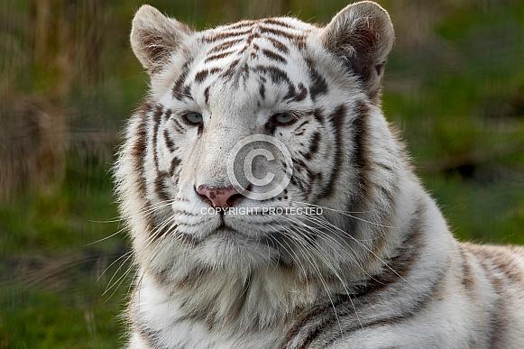 White Bengal Tiger Close Up Face Shot
