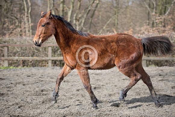 Trotting Foal