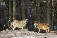 Pair of Grey Wolves