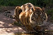 Sumatran Tiger Looked At Camera Full Body