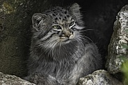 Manul/Pallas Cat In Rocky Cave