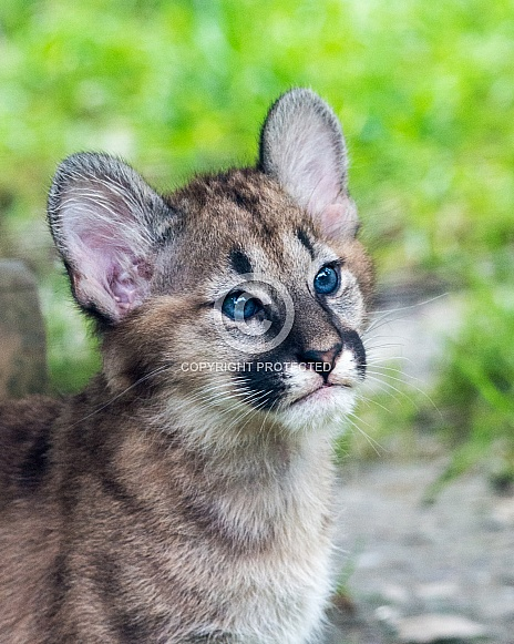 Puma/Cougar cub