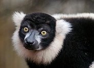 Black and White Ruffed Lemur portrait