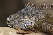 Iguana Asleep On Log Close Up