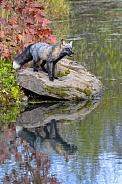 Cross Fox or Melanistic Fox