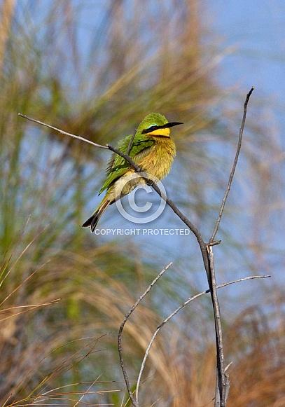 Little Bee-eater - Okavango Delta - Botswana