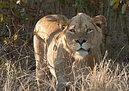 Lion Kruger National Park SA (Wild)
