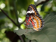 Exotical butterfly