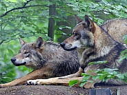 European wolves