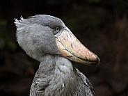 The shoebill