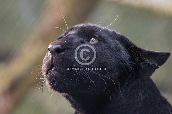 Jaguar Cub (Panthera Onca)