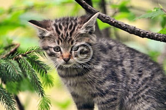 Wildcat kitten