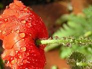 Dew Drop Poppy