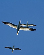 Northern Gannets in Flight