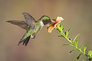 Ruby-throated Hummingbird Female