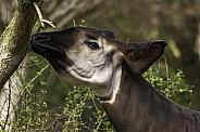 Okapi Headshot Reaching Upwards