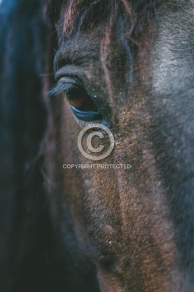 Curly Horse Eye