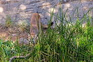 Mountain Lion in the Grass